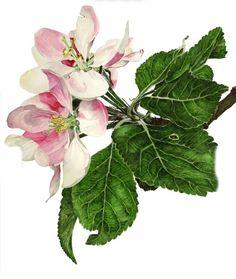 By Anna Mason, watercolour, Apple Blossom Botanical Flowers, Botanical Prints, Art Floral, Flower Images, Flower Art, Watercolor Flowers, Watercolor Paintings, Anna Mason, Pomes