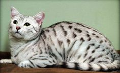 Silver Egyptian Mau..The cat we are getting next year <3