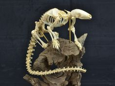 Tree Pangolin (Mancis tricuspis) Skeleton.