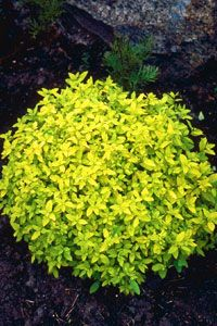 Golden Elf spiraea- low growing, doesn't burn in full sun, can grow as a ground cover