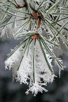 Winter ice crystals on pine needles. Already beautiful, but ZOOM to see details . Winter ice crystals on pine needles. Already lovely, but ENLARGE to see details . Winter ice crystals on pine needles. Already lovely, but ENLARGE to see details of this Winter Szenen, I Love Winter, Winter Magic, Winter Christmas, Deep Winter, Christmas Tree, Holiday, I Love Snow, Ice Crystals
