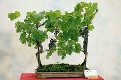 Vitis vinífera