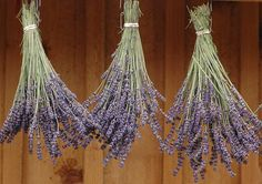 Lavender not only has a great smell and color, but it also serves numerous medicinal and health purposes. Many people think growing lavender is difficult, but it's actually a fairly low maintenance plant. If you know what environment is best for lavender and what... #diy #herbgarden #lavender