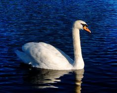 Mute Swan on lake in Strichen Park, Aberdeenshire.