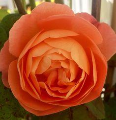 David Austin Роза в саду 😍🌹