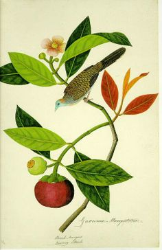 heaveninawildflower:    Garcinia Mangostana; Booah Mangies; Boorong Merbo. Artist unknown. A watercolour drawing of the zebra dove or barred...