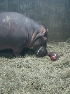Get a firsthand account of baby hippo Fiona's birth and first days from one of her caregivers in this new blog.