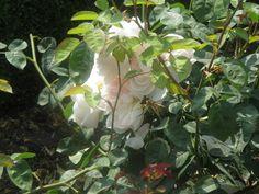 Rose. Image courtesy of IFPA Member Joanne Woodward