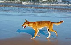 Fraser Island boasts an incredibly diverse selection of native wildlife thanks to its eclectic collection of landscapes and unique scenery. Fraser Island, Husky, Corgi, Scenery, Wildlife, Landscape, Animals, Animaux, Corgis