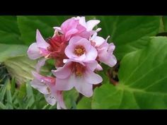 HORTENSIA DE INVIERNO: Bergenia crassifolia | rioMoros