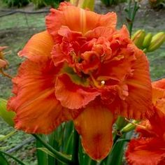 Daylily Cultivar Detailed Information Exotic Flowers, Amazing Flowers, Purple Flowers, Beautiful Flowers, Daylily Garden, Peonies Garden, Hawaiian Flowers, Yellow Roses, Pink Roses