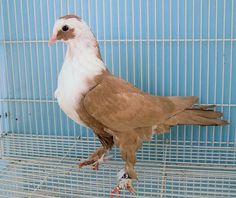 Shirazi Pigeon - Shakhsharli Tumblers Pigeon