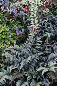 For color and texture in the shade you can't beat a combination in Jim Gersbach's Northeast Portland garden of Astilbe chinensis 'Pumila,' hardy Fuchsia magellanica gracilis 'Variegata' and Japanese painted fern (Athyrium niponicum 'Pictum').