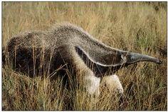 Oso Hormiguero que tenemos en el Paraguay, uno de los animales silvestres que están protegidos por el SEAM http://www.pla.net.py/enlaces/cctl/980627/aniplaex.htm