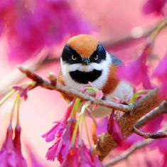 Black Throated Tit (Aegithalos concinnus). It ranges from the foothills of the Himalayas, stretching across northern India through Nepal, Bhutan, northern Burma, Vietnam, and Taiwan