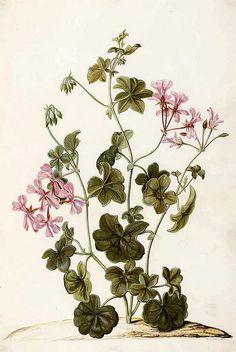 Ivy geranium. Pelargonium peltatum vol. 5: t. 41 (1682-1709) | by Swallowtail Garden Seeds
