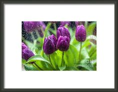 Rainy Tulips by Jenny Rainbow.  #FloralDesign #Rain #Tulips #Holland #Purple #WallArt #Canvas #JennyRainbowFineArtPhotography #Floral #Flower #Green #Spring #SpringFlowers #FineArtPhotography #Photography #FramedPrints