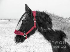 Gypsy Horse, Winter Day, Colour Images, Horses, Red, Photograph, Animals, Color, Photography