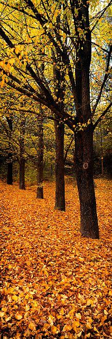 ✯ Autumn Trees - Victoria, Australia
