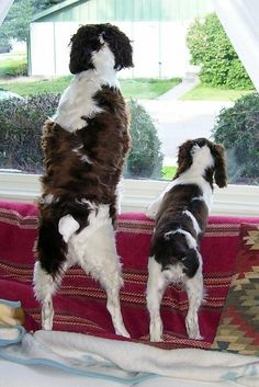 Lookin out the window! English Springer Spaniel