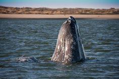 Spy Hopping Grey Whale by Clayton Collins on 500px. Bahía Magdalena, Baja California Sur, Mexico.