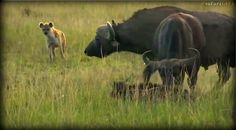 A sick Buffalo calf is chased and attacked by Hyena on the #MasaiMara. A bull and herd come to rescue #SafariLive @BrentLeoSmith