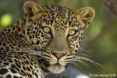 Leopard stare - Luke Marazzi - Wildlife Photographer of the Year 2006 : 15-17 Years - Highly commended
