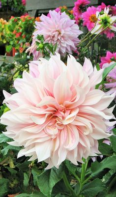 Huge dahlia (almost the size of a dinner plate) at Roger's Gardens in Newport, CA. If you are a gardener, you must visit this place! Photo by Jana Magnuson