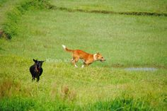 INDog chased away from a goat it was trying to kill. Near Pobitora, Assam, clicked by Kiran Khalap. INDogs have high prey drive and when not socialized to livestock they will try to kill goats, sheep and poultry.