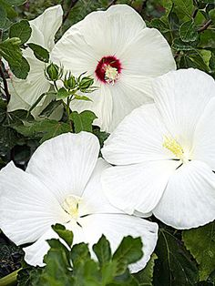 Hibiscus 'Crystal Ball' - drought, flood, and insect tolerant perennial
