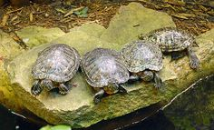Four Turtles Photograph Photography by Aimee L Maher http://aimee-maher.artistwebsites.com/featured/four-turtles-aimee-maher.html