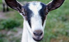 Fine, this study doesn't actually prove that goats are cute. But we stand by our assessment.