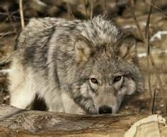 wisconsin wolves | Wolves are not safe anywhere. The poor female wolf, called Isabelle ...