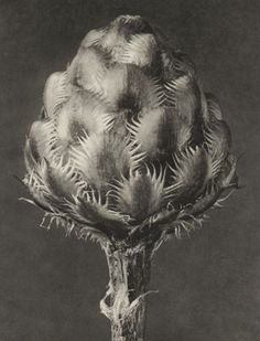 Find the latest shows, biography, and artworks for sale by Karl Blossfeldt. A teacher at the Royal Arts Museum in Berlin, Karl Blossfeldt became a celebrated… Karl Blossfeldt, Illustration Botanique, Botanical Illustration, Fine Art Photo, Photo Art, Natural Form Art, Art Antique, Fotografia Macro, Seed Pods