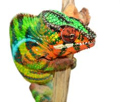 Panther Chameleon - Furcifer Pardalis - Ambilobe Locale - Male Ambilobe breeder here at Canvas Chameleons named Louis