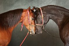 A mare from Saudi Arabia comes face-to-face with a Russian-bred Arabian mare in…