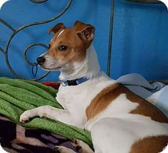 Cape Coral, FL - Jack Russell Terrier Mix. Meet Rocky, a puppy for adoption. http://www.adoptapet.com/pet/17621900-cape-coral-florida-jack-russell-terrier-mix