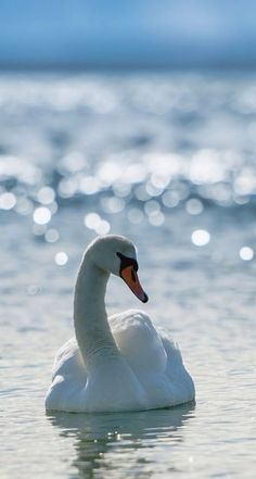 #Bokeh Photography#Swan