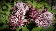 Miss Kim Lilac Sweet shrub lilac 5-7 foot high and wide