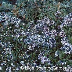 Amsonia jonesii - Jones Bluestar 12 X 12 white blooms spring - hard to get established