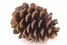 pine cone - Google Search