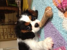 King Charles Cavalier Spaniels  are the cutest dog ever!!!