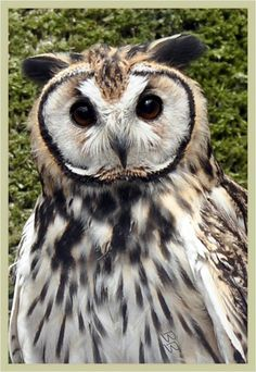 Striped Owl ~ nature's master of navigating forests' intricate tangles w/silence & stealth & sure-winged unique aerial acrobatic abilities!!!