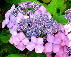 Tickled Pink — #pink #hydrangea #buds #flowers #garden #nature #SMLers #Random #beautiful #streamzoo • LynnO on Streamzoo