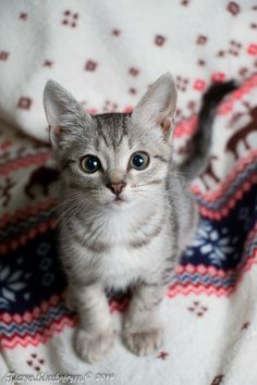 gray kitten on a sweater