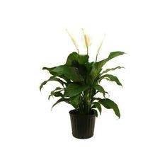Delray Plants Spathiphllum Sweet Pablo in 10 in. pot ($20) ❤ liked on Polyvore
