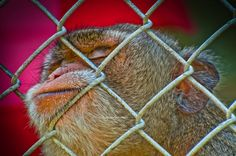 Sleeping monkey by Dretography.deviantart.com on @deviantART