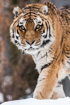 Eye of the Tiger by © Maxime Riendeau Siberian Tiger (Panthera tigris altaica)