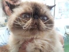 Crash is an adoptable Himalayan Cat in Lee's Summit, MO. Crash is a fun loving cat. He would be better in a home without other male cats. He is fine around females, but like to dominate males. He love...
