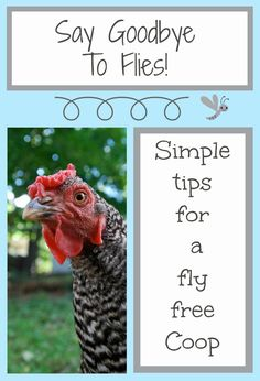 Backyard Chickens: How to Get Rid of Flies